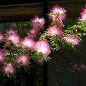 Albizia ou arbre à fleur de soie
