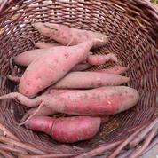 Patate douce, des racines et des feuilles