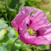 Pavot à opium, pour la beauté de ses fleurs