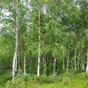 Bouleau, des feuilles et des écorces