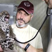 Naissance de deux bébés jaguars au zoo de Paris