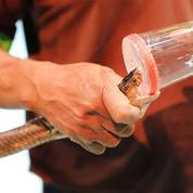 Venins de serpent : des antalgiques aussi puissants que la morphine