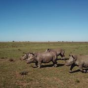 Arte s'intéresse aux rhinocéros, victimes méconnues du crime organisé