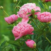 Pivoines: comment les faire fleurir à coup sûr