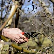 Pommiers, poiriers: les secrets d'une taille réussie