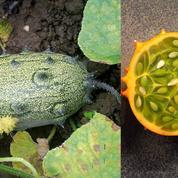 Potager: place aux «légumes surprises»!