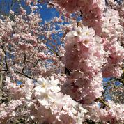 En Anjou, les cerisiers japonais font leur show
