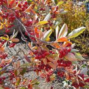 Aronie rouge, des feuilles et des fruits pour l'automne