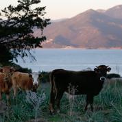 En Corse, la justice fait la chasse aux fraudes agricoles
