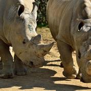 La manucure des rhinocéros au zoo de Paris