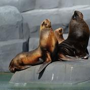 Les otaries à fourrure australe débarquent au zoo de Paris