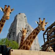 Les girafes, mascottes du zoo de Paris