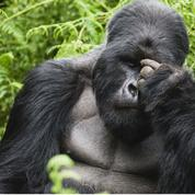 Le gorille, atout majeur du tourisme rwandais