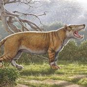 Sept fois plus gros qu'un lion, ce mammifère hypercarnivore a été découvert par hasard
