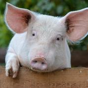 Des neurones de cochons décapités ravivés 4heures après leur mort