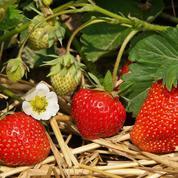 Fraises: les dix variétés à planter au jardin