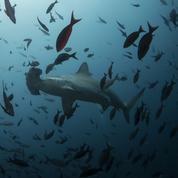 Mort des requins-marteaux de Nausicaá: l'ONG Sea Shepherd porte plainte