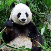 Avec le seul bambou, les pandas assimilent autant de protéines que les carnivores