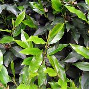 Laurier du Portugal, des feuilles et des fleurs.