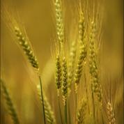 Les ancêtres du blé racontent l'histoire du monde