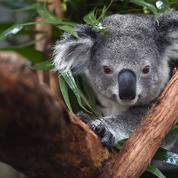 En Australie, le koala est une espèce «fonctionnellement éteinte»