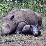 En Malaisie, le dernier rhinocéros de Sumatra est mort