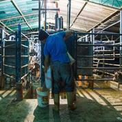 Au Venezuela, l'agriculture ruinée par le chavisme