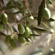 France 5 zoome sur l'olive, un fruit gorgé de soleil et d'amertume