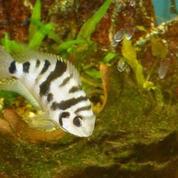 Un poisson sensible au chagrin d'amour
