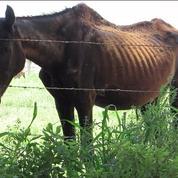 Une ONG dénonce le «vrai visage» de la viande de cheval