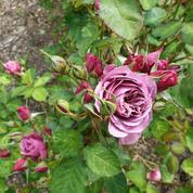 Dans le paradis français des roses japonaises