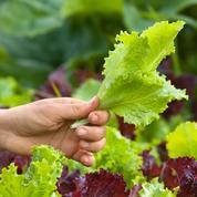 Potager: que planter après les premières récoltes?