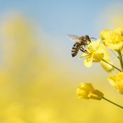 L'agriculture bio profite aux abeilles