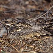 Des oiseaux nicheurs champions du camouflage
