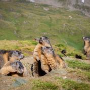 Meurtre, domination et adultère: la vie secrète des marmottes