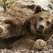 Que sont les mesures «d'effarouchement» pour «protéger» les troupeaux des ours?