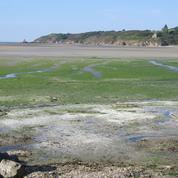 La baie de Saint-Brieuc asphyxiée par la prolifération d'algues vertes