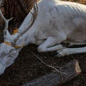 Arctique: 200 rennes retrouvés morts de faim, le réchauffement climatique mis en cause