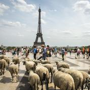 Transhumance du Grand Paris: une bergère dans la ville