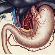 L'estomac, un redoutable sac d'acide chlorhydrique