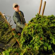 Les biochimistes cherchent à valoriser les algues vertes