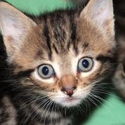 Des chercheurs ont trouvé un vaccin pour lutter contre les allergies aux chats