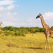 Une (petite) protection décidée à Genève pour les girafes