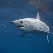 Un début de protection pour les requins-taupes et les raies-guitares