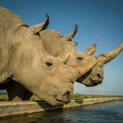 Une fécondation in vitro pour ressusciter le rhinocéros blanc du Nord