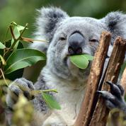 Sauver des koalas grâce à la transplantation fécale