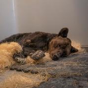 L'ours Mischa, maltraité et exhibé en public, est dans un état préoccupant