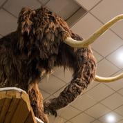 Consanguinité et climat ont eu raison des ultimes mammouths
