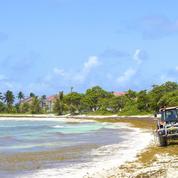 Les sargasses étouffent les Caraïbes