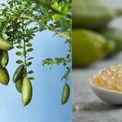 Citron caviar, très prisé en gastronomie